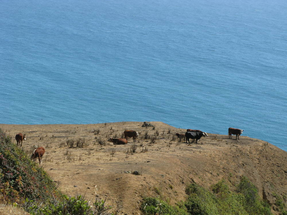Cows by the Pacific Ocean.