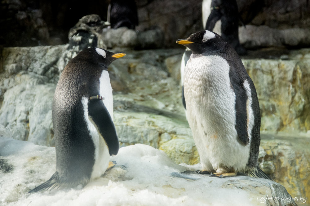 Penguins, probably my most favourite animal in the world