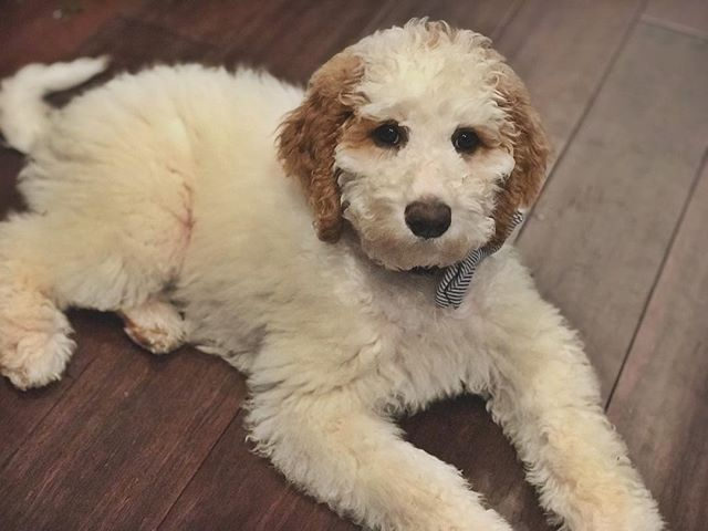 #whitegoldendoodle #andydoodle #newpuppy #puppylove