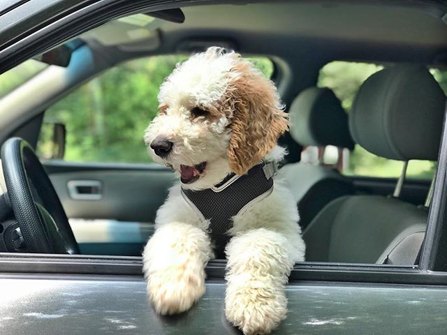 Andy enjoying the AC in the car today 😆🐶 #andydoodle #goldendoodlesofinstagram #goldendoodlepuppy #servicedogintraining #seizuredog