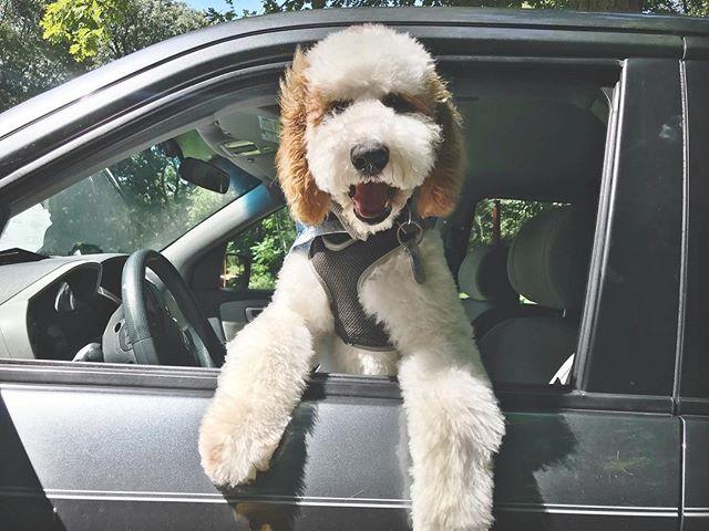 Andy is growing so fast! #andydoodle #andybernard #goldendoodlesofinstagram #goldendoodle #servicedogintraining