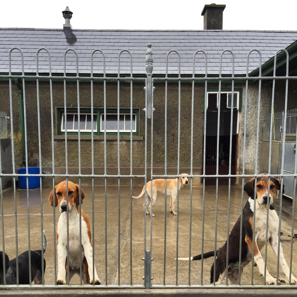 A few members of the Kilkenny Hunting Club. The Kilkenny Hunting Club has 120 foxhounds. They eat once a day (tripe and liver), receive weekly vet check-ups and are exercised three times a day. Every morning at 6:00am the Huntsman and his two assistants get on their bikes and take all 120 foxhounds out for a five mile run along the roads!