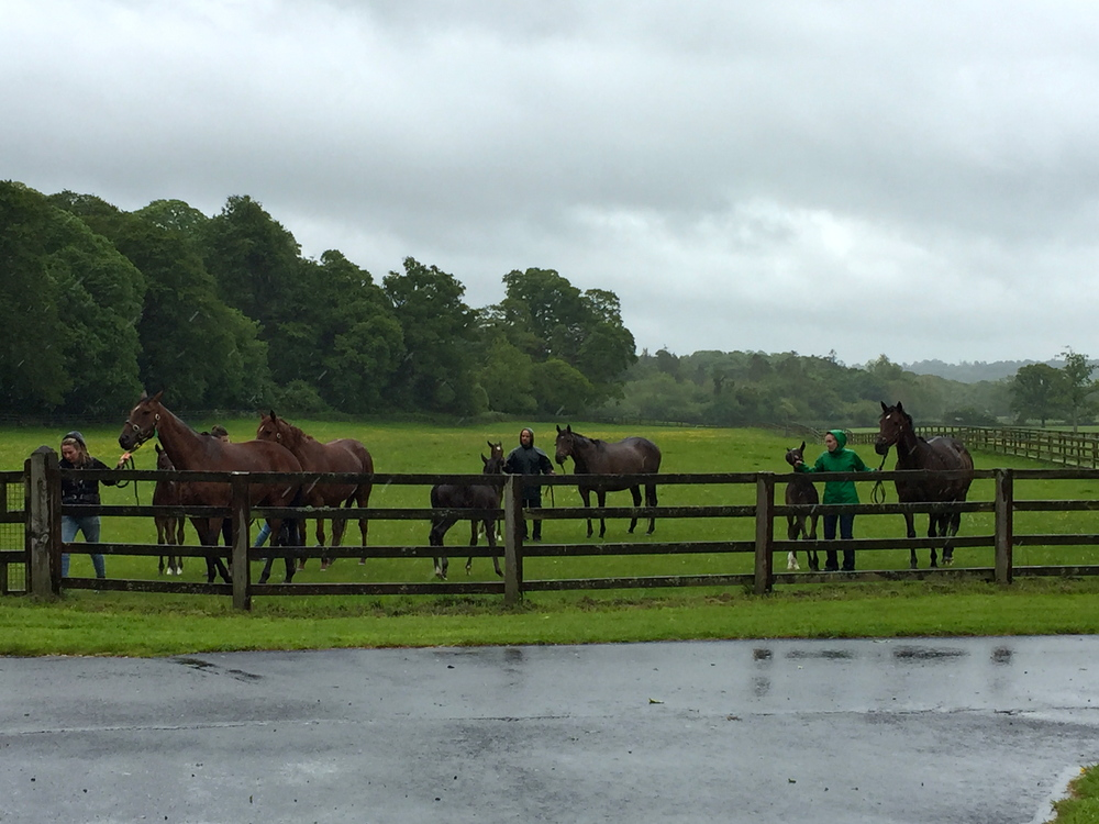 These young foals are only 3 - 4 weeks old and are being brought into the stables with their moms before the storm hits. Ballylinch Stud, Mount Juliet, Thomastown, Co. Kilkenny, Ireland.