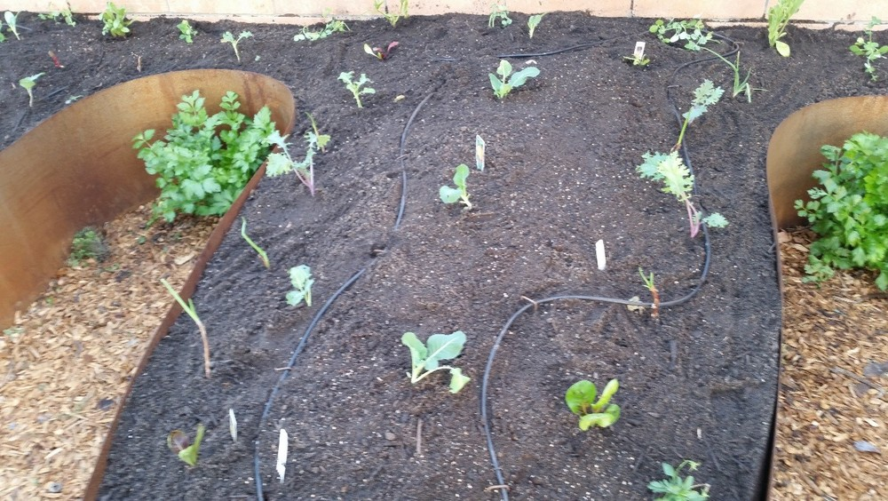 Now plant out any vegetable starts that you want to grow this season. These are plants that can be slow growing from seed so it can be easier to buy or grow out select veggies like broccoli, cauliflower, garlic, & onions.