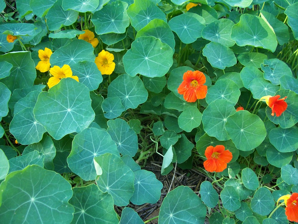 Local forages nasturtium carmichael environmental orange or yellow 5 petal flowers with a vine like growing pattern and round leaves with visible white veins connecting in the center mightylinksfo