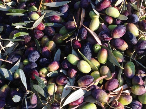 oliveoil_sollervalley2.jpg