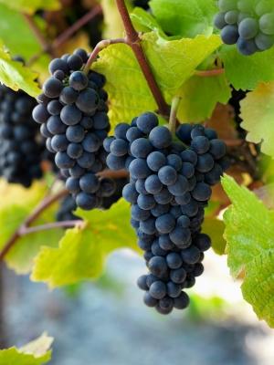 A cluster of Pinot Noir