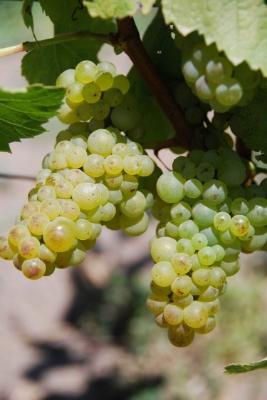 Chardonnay vines
