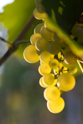 Glera (Prosecco) Grapes