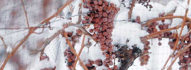 Leaving grapes to freeze