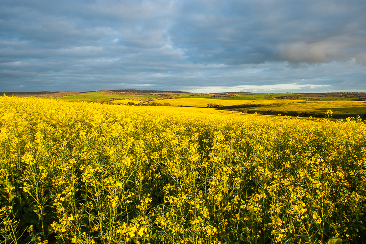 canola fields karl monaghan photography