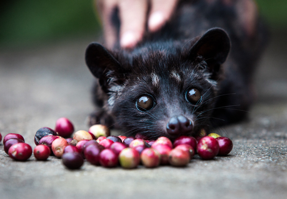 Luwak eating coffee cherries