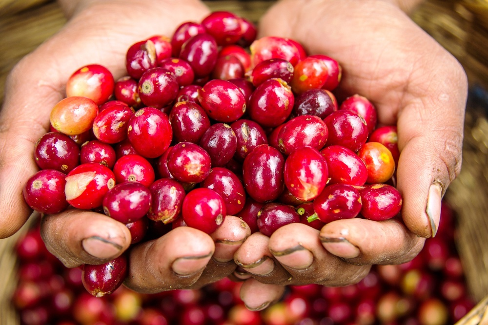 Red coffee cherries. Not that easy to find.