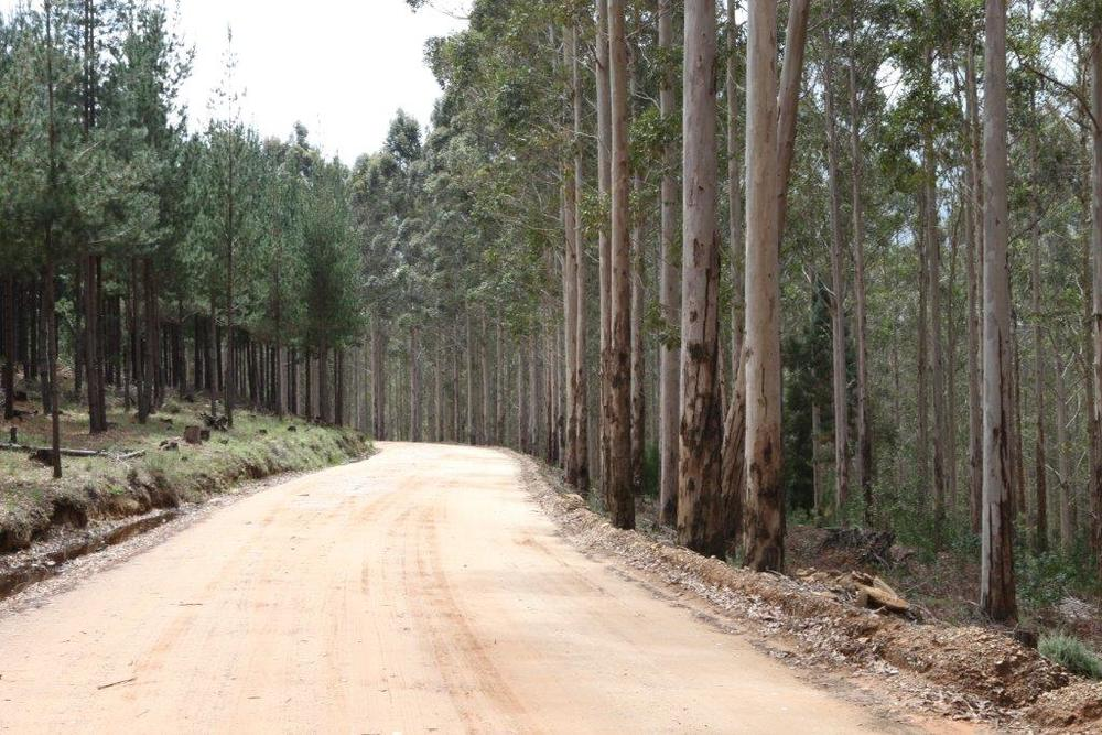 cape pine forests, R339 knysna (6).jpg