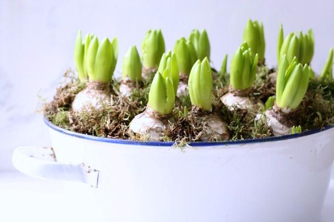 Hyacinth planter
