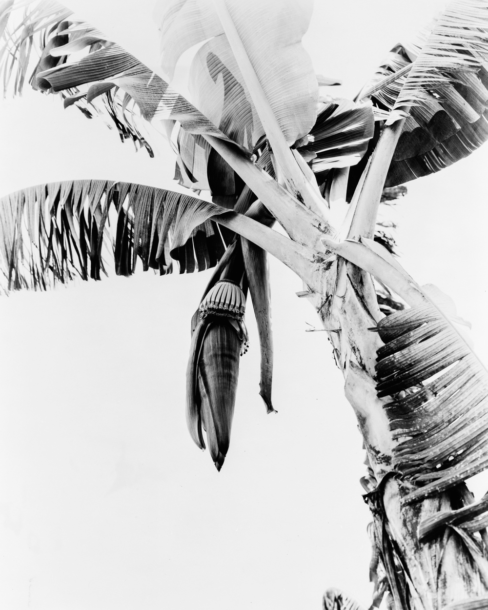 Newly Shot Banana Bud, Three Days Old , United Fruit Company, Unifruitco Magazine, 1948