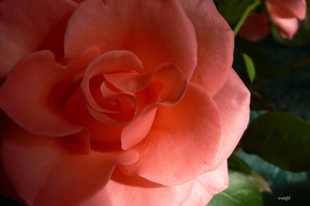 Peach Roses0521.jpg