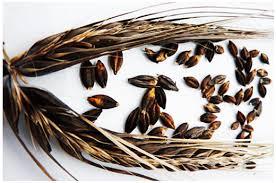 heirloom grains