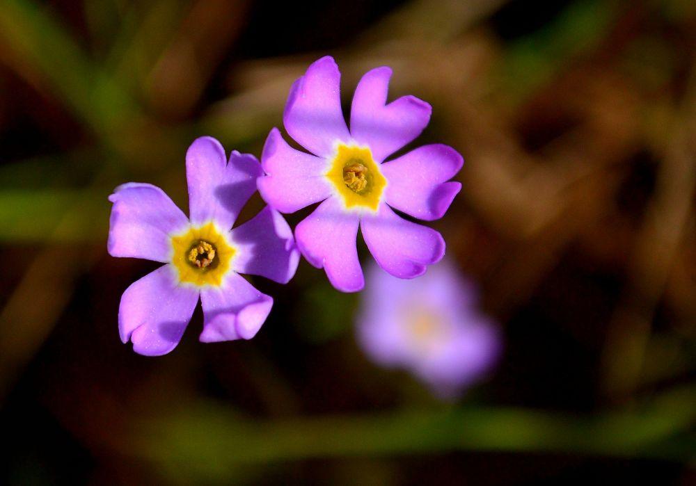 Uhanalainen ruijanesikko kasvaa vain Perämeren vastasyntyneillä rannikoilla.