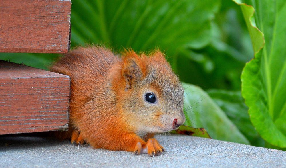 Opastuskeskus Supan kuistilla oli puolikesyjä pesästä pudonneita oravanpoikasia.