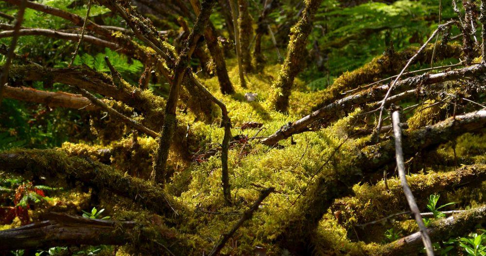 Autiovaaran luontopolkua ympäröi alueen vanhin kuusimetsä.