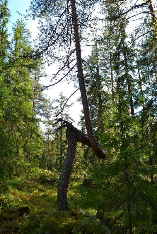 Tällä puulla oli teini-iässä asenneongelma.