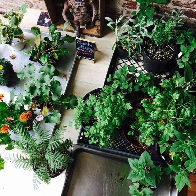 This weekend is a no-market weekend for us, but you can still come get your #FermentFix tomorrow at the #FarmsteadMercantile in #ScottsvilleVA from 10am to 4pm  We've got beautiful flowering and herb plants from #ModestoFarmsGreenhouses and #verdenaturalflorals, gorgeous and delicious local pasta from #scratchpasta, two new varieties of fruit vinegar from the lovely folks at #virginiavinegarworks and so much more!  #EatLocal #shoplocal #supportsmallbusiness