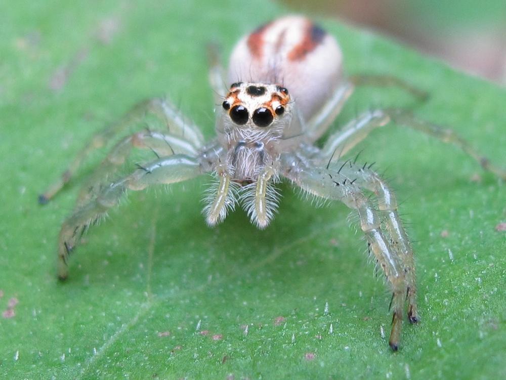 Jumping spider, Tsushima Island, Japan.jpg