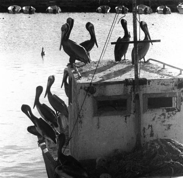 Baja+Pelicans+Loreto+1-381x590.jpg