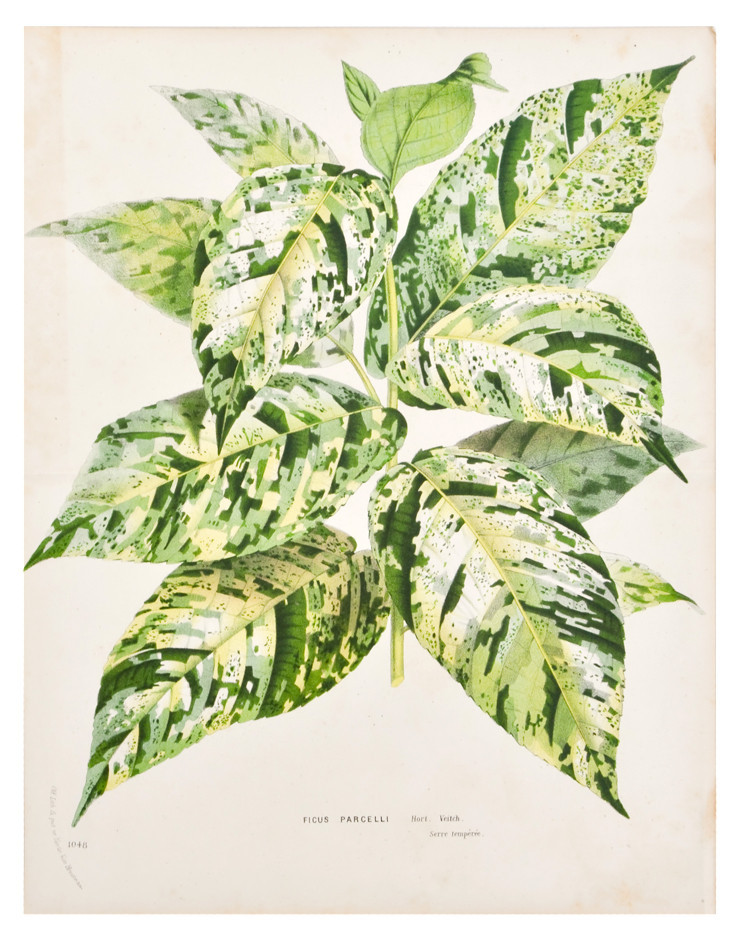 Ficus parcelli leaf print, c. 1878. Image via Leif.