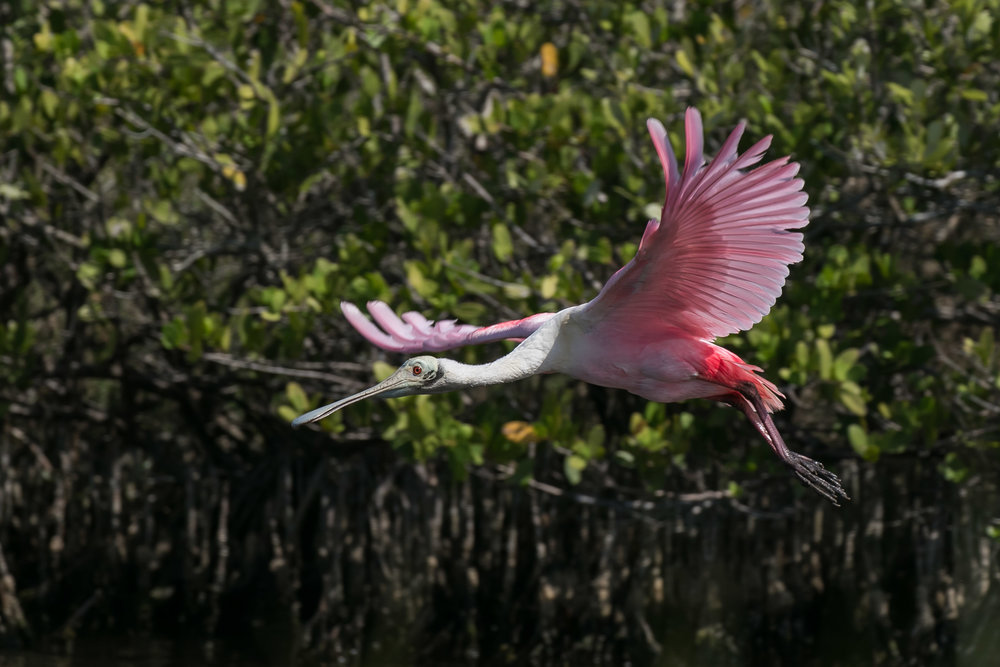 Roseate spoonbill; photo credit: Peter Harris