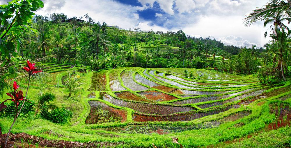 Bali_rice_95103712.jpg