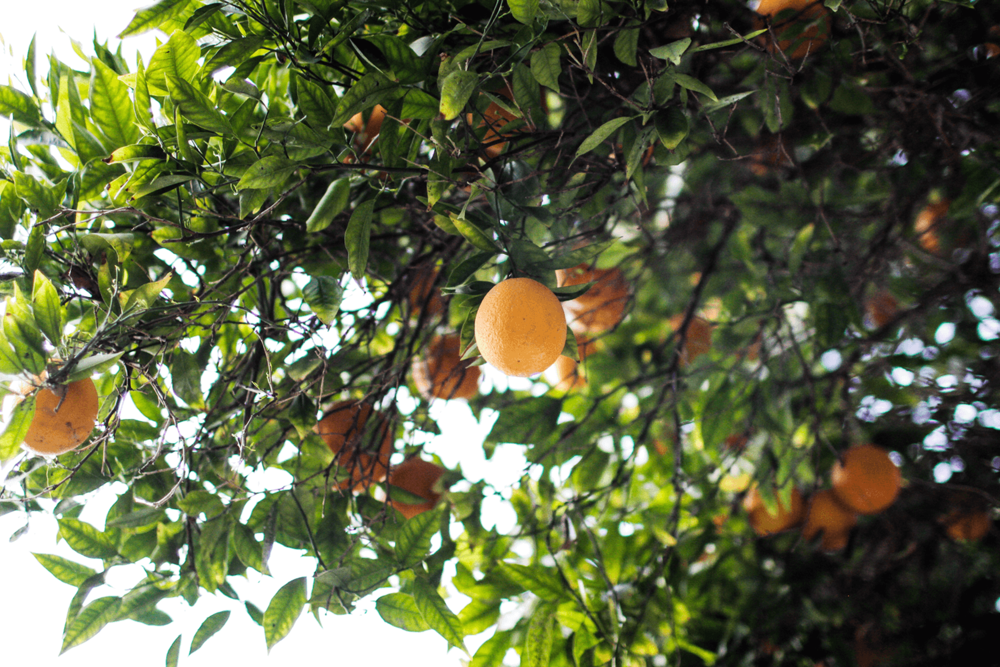 Orange Tree in Ojai