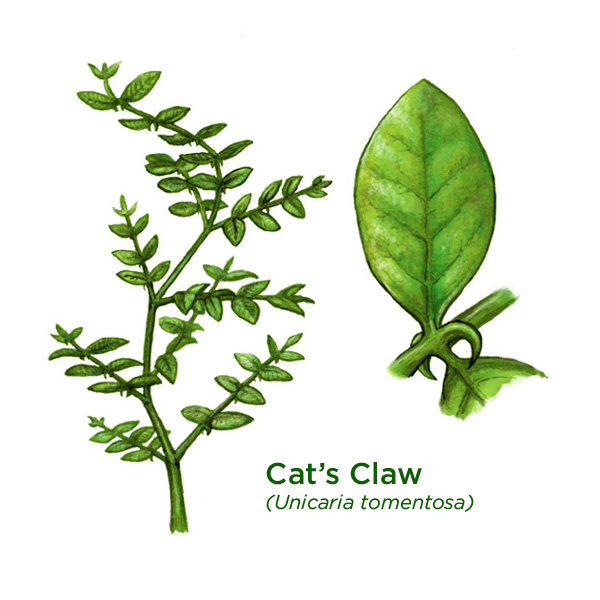 cats-claw_600.jpg