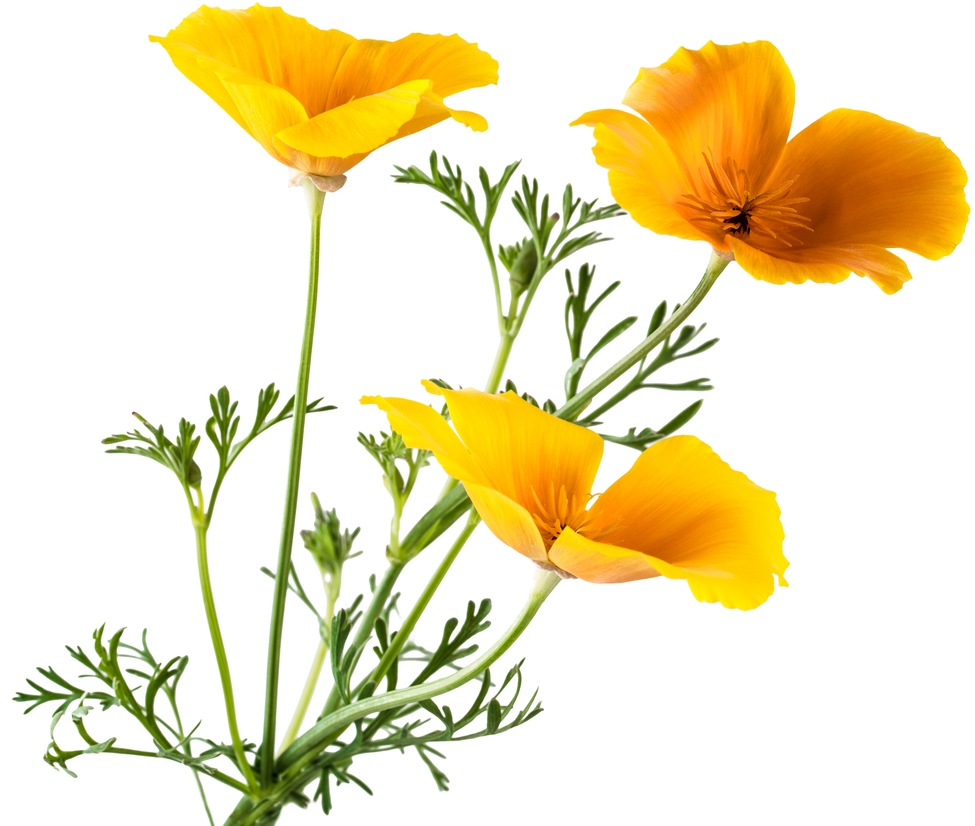 california-poppy2.jpg