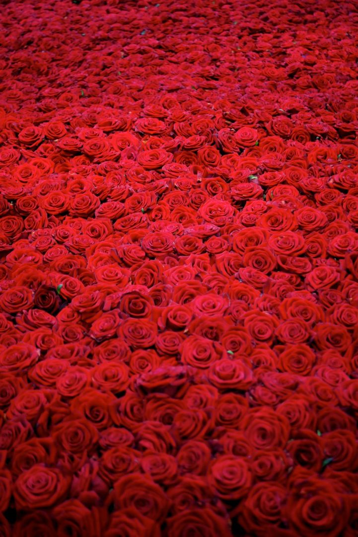 a field of red roses.jpg