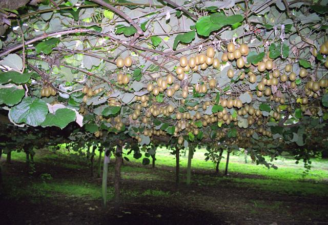 """Kiwifruit-Actinidia deliciosa-plantation"" by Klingon. Licensed under CC BY-SA 3.0 via Wikimedia Commons -  Link"