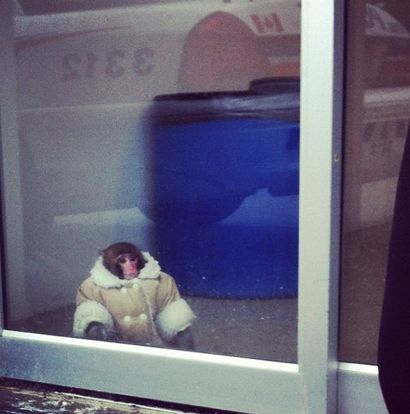 "jetgreguar :      phantomdoodler :      fuckyeahtoronto :      Monkey Loose In Toronto Ikea Captured By Animal Services      ""Why the monkey was there or who it belonged to remains unclear, according to NEWSTALK 1010. The monkey's snappy attire, a shearling coat, is also a mystery.""     new monkey"