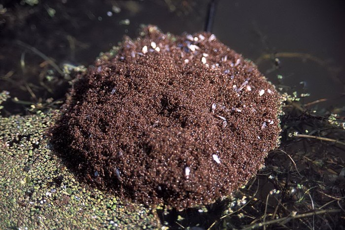 The floods of Spring are a problem for many of the animals of Alligator Bayou, but not so for the fire ant. The entire colony of ants abandon their mound when floods arrive. They then bind together into a ball that floats on the flood waters until the ants drift to higher ground. The ants within this living, seething mass reposition themselves so that no ant is left underwater for too long. Landowners sometimes take advantage of this strategy to control ant populations. If detergent is sprayed on and around the mass of ants, the surface tension of the water is weakened to the point that the entire mass sinks and drowns.   •••   d: i wonder if zombies would form a ball in a flood   me: not unless they have a queen   d: aliens def would then   me: yes   d: and the british   me: that's how they got over here