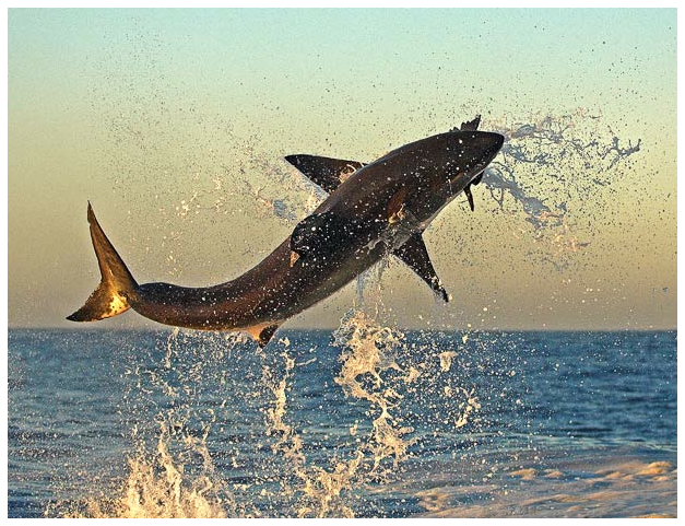 Leaping great white sharks  photographed  attacking seals off the coast of Cape Town, South Africa