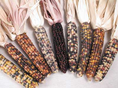 Gorgeous Indian Ornamental Corn