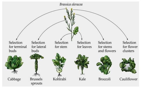 Brassica Selection Process