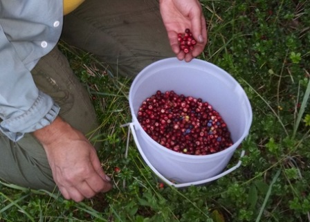 lingon berries sept2 2013_websize.jpg