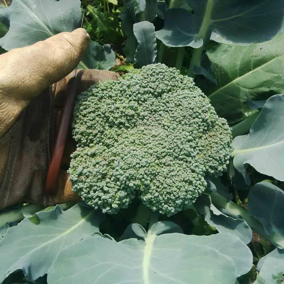 broccolihead_2014.jpg
