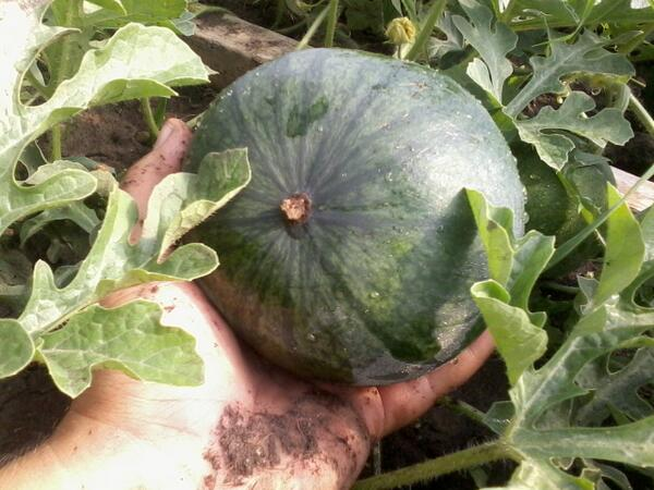 small shining light watermelon aug28 2013.jpg