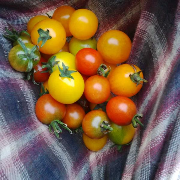 tomatoes_agu2014.jpg