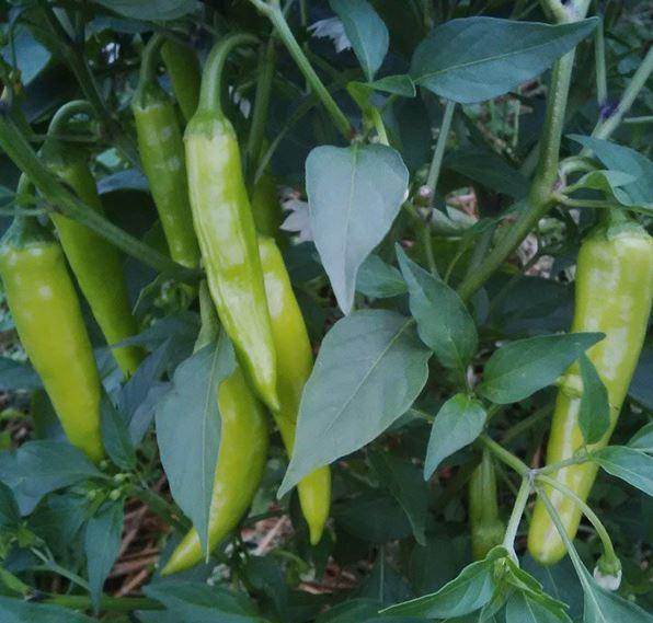 Italian Pepperoncini Peppers