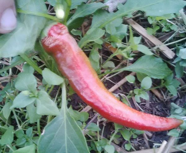 Hungarian Paprika Pepper