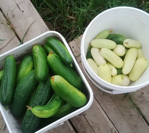 Harvested 24lbs of slicing cucumbers, plus another 11lbs of pickling cucumbers (not pictured).