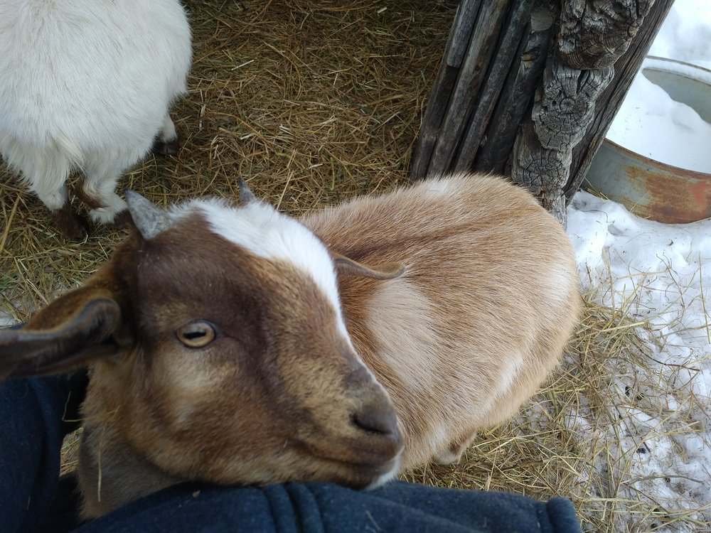 Look! A goat! Snickers has become quite the snuggler.
